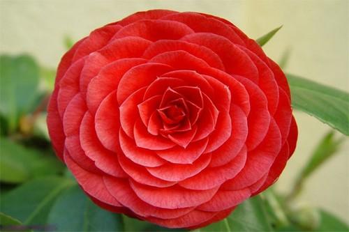 روشی برای کاشت و نگهداری از گل رز