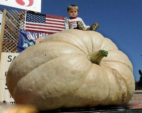 رشد کدو تنبلی با وزن 674 کیلوگرم (عکس)