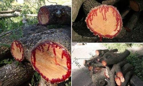 درختی که بعد از بریدن از آن خون بیرون می آید (عکس)