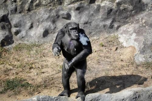 عکس های باورنکردنی از سیگار کشیدن میمون