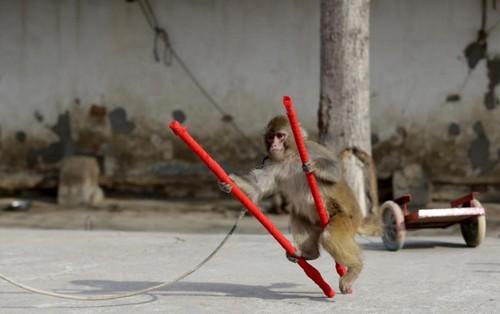 تصاویر باورنکردنی از میمون های پول ساز