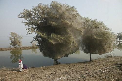 عکس هایی از درختان پوشانده شده از تار عنکبوت