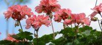 نحوه ی پرورش گل شمعدانی