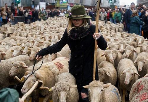 عکس های جالب از راهپیمایی گوسفندان در مادرید