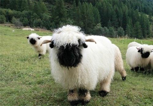 عجیب ترین گوسفندان جهان را ببینید +تصاویر