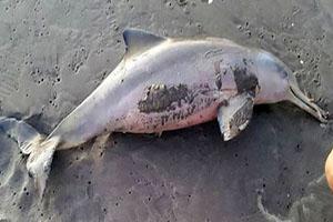 مرگ بچه دلفین نادر بخاطر عکسهای سلفی +تصاویر