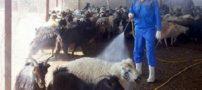 قیمت ها در بازار گوشت تحت شعاع تب کنگو