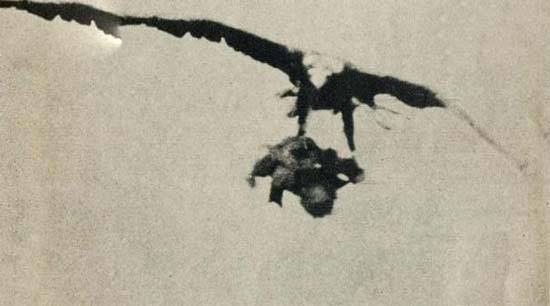 عکس هایی از لحظات شکار یه بچه توسط عقاب