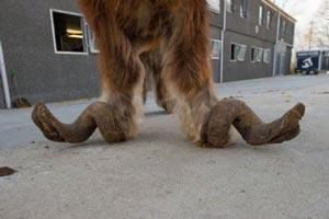 عکس های عجیب اسبی که پاهایش شاخ دارد