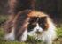 گران قیمت ترین نژاد های گربه در دنیا (عکس)