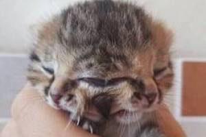 تولد عجیب یک بچه گربه با سه چشم (عکس)