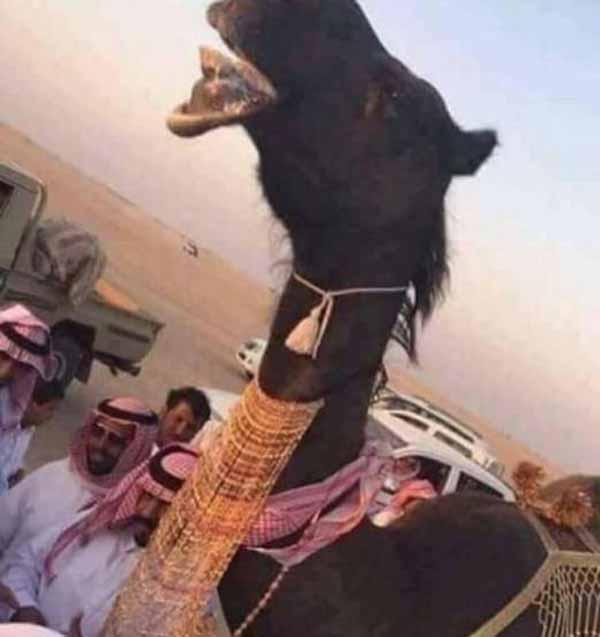 عروسی مضحک دو شتردر عربستان (عکس)