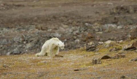 فلاکت این خرس قطبی جهان را شوکه کرد (عکس)