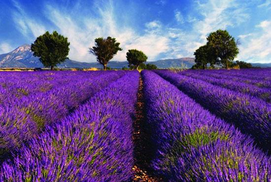 مزارع اسطوخودوس در فرانسه،زیباترین مکان ها،عکس،مکان های زیبا،چشم اندازها و مناظر زیبا