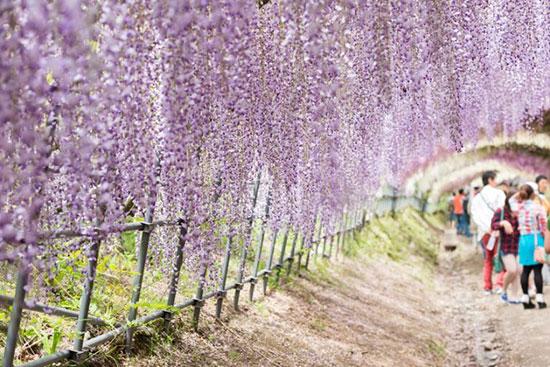 تونل ویستریا،ژاپن،زیباترین مکان ها،عکس،مکان های زیبا،چشم اندازها و مناظر زیبا