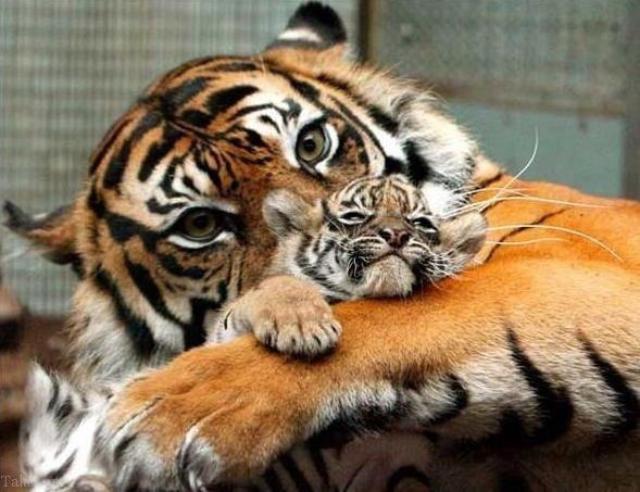 عکس هایی دیدنی از محبت مادری بین حیوانات