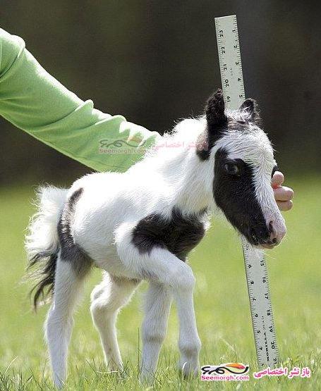 کوچک ترین اسب جهان با 3 کیلو وزن!!