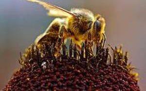 آیا تا بحال بزرگترین زنبور عسل دنیا را دیده بودید (عکس)
