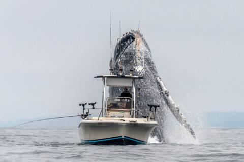 حمله نهنگ آبی با وزن ده تن به یک قایق (عکس)