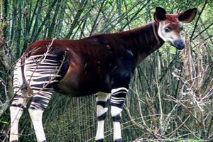 حیوانی که نصف بدنش زرافه و نصفش گورخر است (عکس)