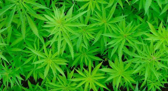 گیاه ماری جوانا یا گل با بدن چه میکند و چه ضررهایی دارد ؟