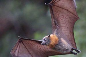 رازهایی جالب درباره خفاش ها که به انسان ها مربوط است