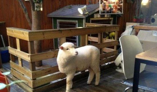 گوسفندانی که در یک کافی شاپ زندگی میکنند + عکس