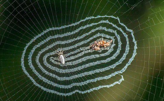 عکس های زیبا و دیدنی از عنکبوت آیینه ای