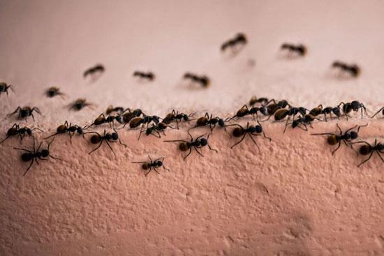 آیا مورچه هایی که تنها هستند زودتر میمیرند؟