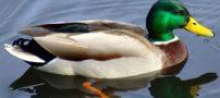 آیا میدانید که اردک ها 12 نوع مختلف دارند؟