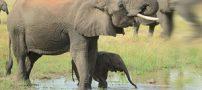 نکات جالب و شگفت انگیزی که باید درباره فیل ها بدانید
