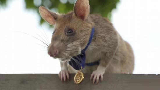 اهدای بالاترین نشان شجاعت به موش ماگاوا + عکس
