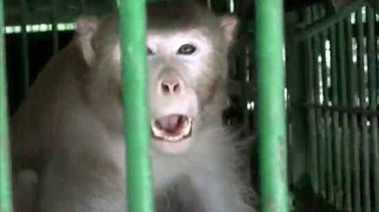 میمونی قاتل که به طرز عجیبی یک آدم کش حرفه ایست + عکس