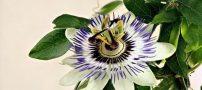 آشنایی با یک گل آپارتمانی عجیب با خاصیت دیازپام