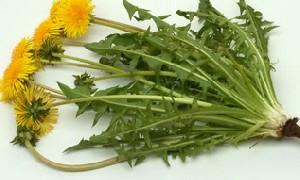 گیاه قاصدک برای چه چیزی خوب است؟