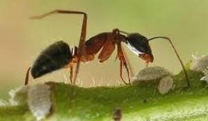 طب مدرن درباره روغن مورچه چه می گوید