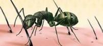 تهیه روغن مورچه در اشکال صنعتی