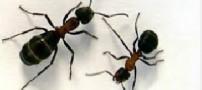 معجزه مورچه ها برای بهبود شنوایی شما