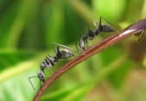آیا تاثیر روغن مورچه خارجی بیشتر است یا نه؟