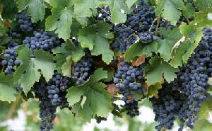انگور مفید برای قلب شما