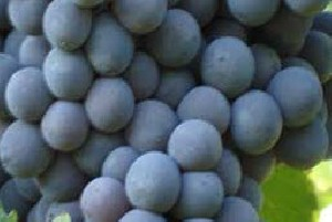 خواص داروئی انگور را بدانید