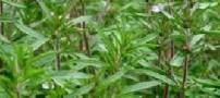 كشف تركیبات ضد درد در گیاه مرزه