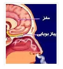کاهش حس بویایی چه عواملی دارد