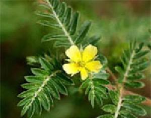 داروی گیاهی خارخاسک برای درمان بعضی بیماری ها