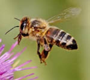 گل ها و زنبورها هم اس ام اس بازی میکنند!!