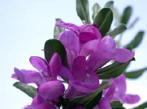 گیاه تلخ مریم گلی و خواص استفاده از آن
