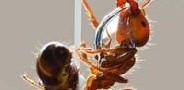 تأثیرات شگفت انگیز استفاده از روغن مورچه