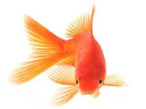 چگونه از ماهی عید نگهداری کنیم؟