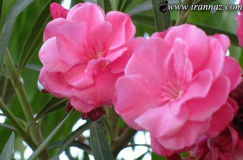 ده گل بسیار زیبا و در عین حال خطرناک جهان (+تصاویر)