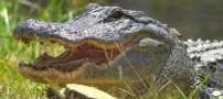 مقاومت حیرت انگیز این حیوان در مقابل تمساح (تصویری)